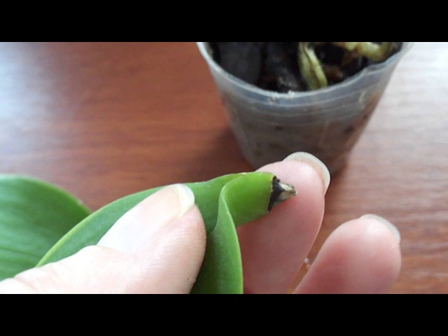 Может ли лист орхидеи дать корни