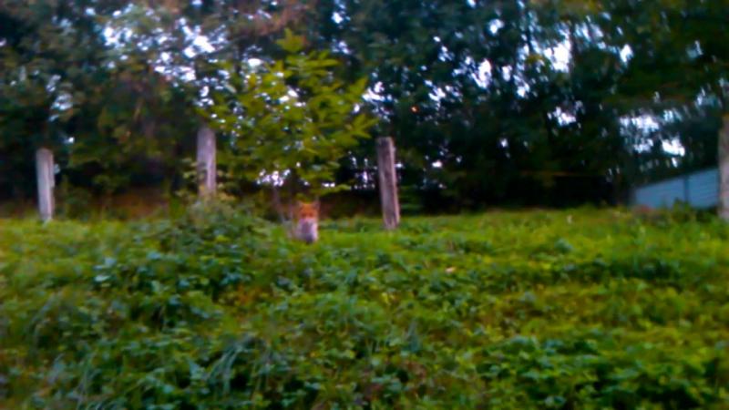 Чому лисиці гуляють в Садгорі як в себе вдома