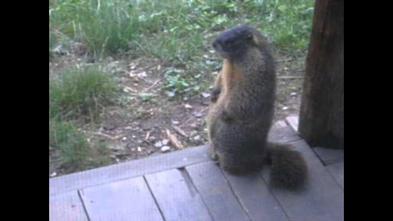 Yellow-bellied marmot (Marmota flaviventris) whistling » Freewka.com - Смотреть онлайн в хорощем качестве