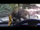 Обезьяна пытается съесть банан через стекло автомобиля  Monkey trying to steal Banana insdie of car a