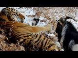 Приморье. Дружба тигра Амура и козла Тимура прославилась на всю Россию