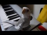 Попугай корелла поет саундтрек