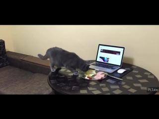 Как отучить кота ходить по столу
