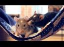 Einstein Darwin Adorable Pet Rats ♥