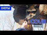 Coub Вести \ Лучшее в Coub [Смешные Еноты]
