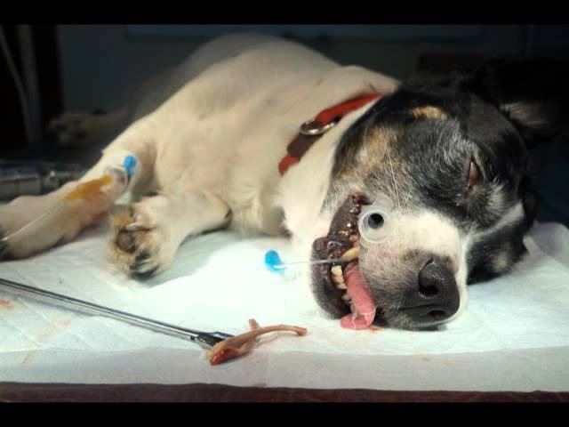 Можно ли собакам давать кости? / Can you give a dog a bone ?