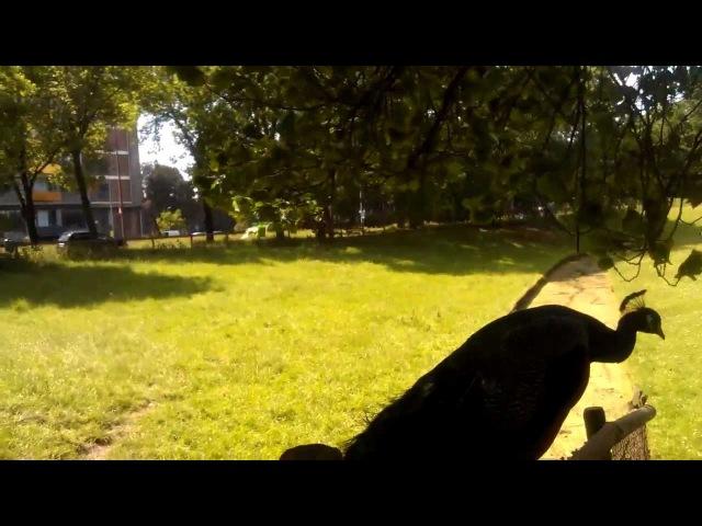 Как кричат павлины? Научно-образовательное видео
