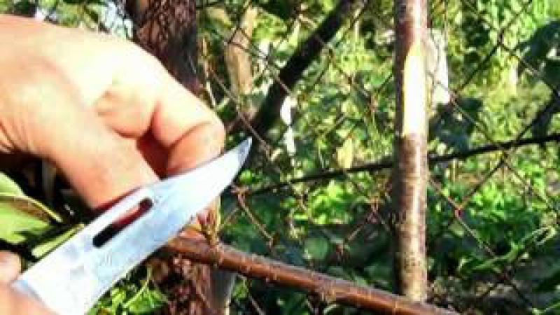Окулировка вишни -1 (23.08.12) - летняя окулировка (с 20 июля до конца Августа)