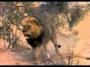 Лев убил гиену