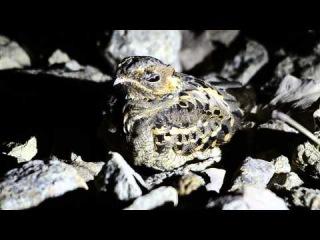 Long-trained nightjar / Большой лирохвостый козодой / Macropsalis creagra