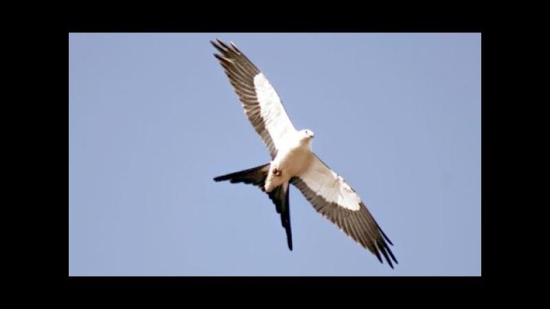 Swallow-tailed kite / Ласточковый коршун / Elanoides forficatus