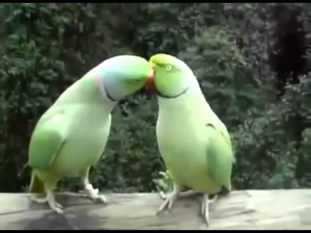 Разговаривают и целуются два попугая (Разговор двух попугаев Смешно) прикол 2013