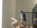 Ollie the African Grey clicking and whistling along to 'Always Look on the Bright Side of Life'