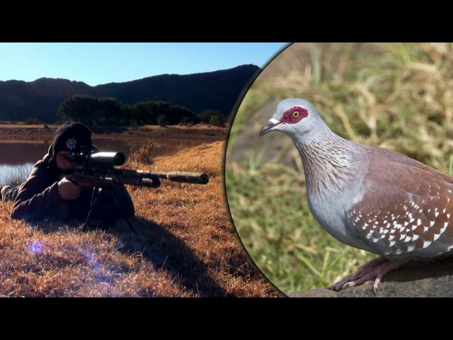 Long Range Airgun Hunting - Pigeon Paradise Episode 2