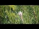 Сосновые почки. Лекарственные травы и растения.