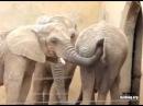 Слон жесть