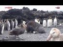 Тюлёнь изнасиловал пингвина