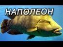 НАПОЛЕОН в красном море . Подводная охота Spearfishing 2014