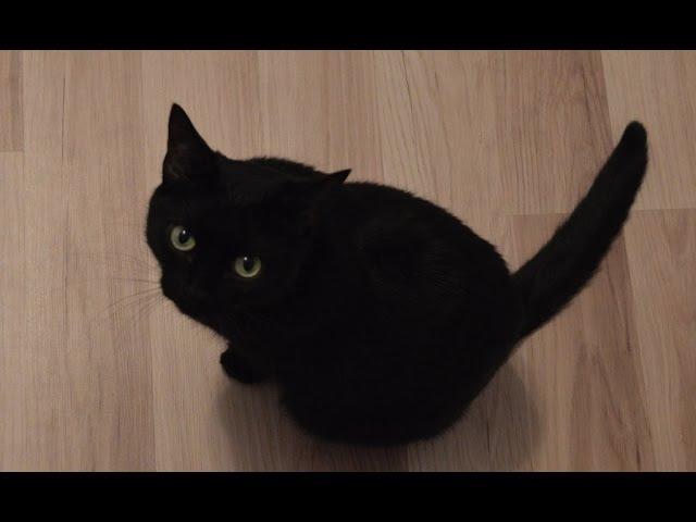 Приколы черной кошки Дикая пантера на охоте
