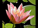 Кувшинки и лягушки Японский Звёздный саксофон на Пристани любви автор клипа Зоя Боур-Москаленко