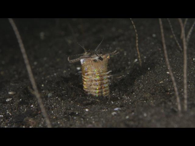 Komodo Bobbit Worms