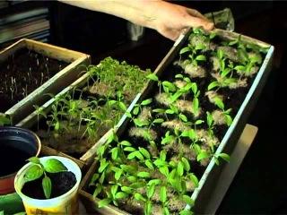 Выращиваем рассаду перцев. Советы.
