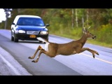 Неожиданно животное на дороге и машина