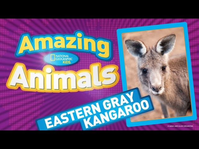 Kids' English | Eastern Gray Kangaroo | AMAZING ANIMALS