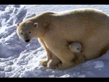 Polar Bear Mom and Cubs  National Geographic