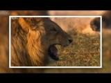 lion laughs LOL Лев смеется, заразительный смех. lion laughs LOL