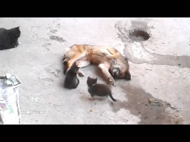 Mother cat with kittens came to old friend / Кошка привела котят к своему другу