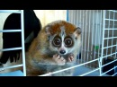 Do you want to know more about Sonya? (slow loris - The Tickle Lover )