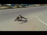 Два ящера борятся.
