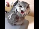 HEY HEEEY Angry Owl (ORIGINAL FULL Vine)