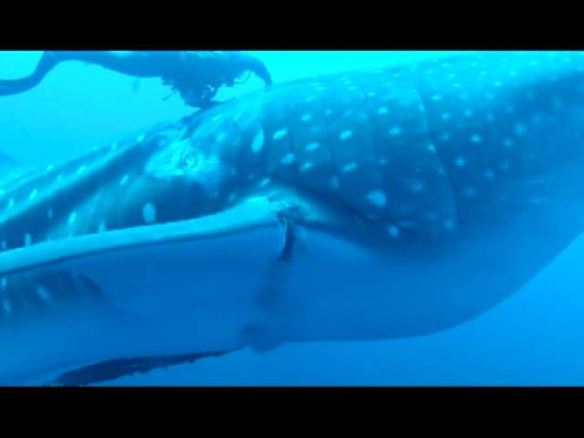 СПАСЕНИЕ КИТОВОЙ АКУЛЫ ИЗ РЫБОЛОВНЫХ СНАСТЕЙ / Whale Shark Rescue