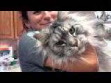 Гигантские кошки породы мейн-кун - Самые большие кошки в мире