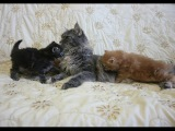 Кошка мейн-кун Сабрина  разговаривает со своими маленькими котятами/ питомник ЛИРИКУМ