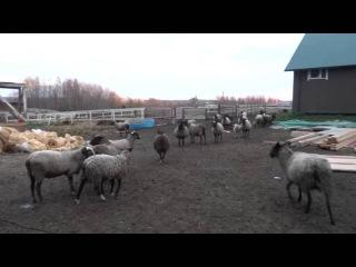 На ферме про овец