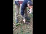 Рабочие собаки тренировка нюха ягдтерьера ч.1
