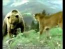 Бои диких животных