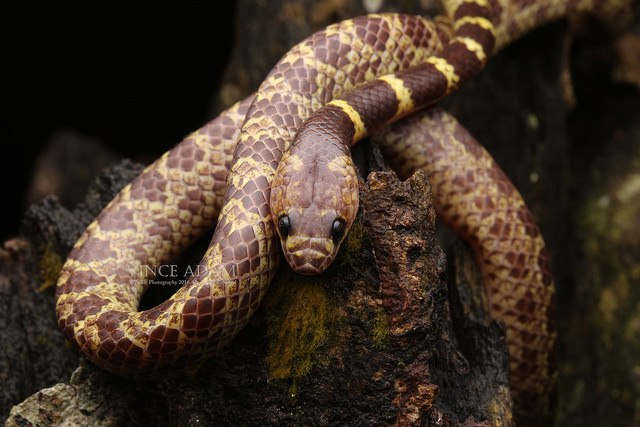 редкие змеи, ужеобразные
