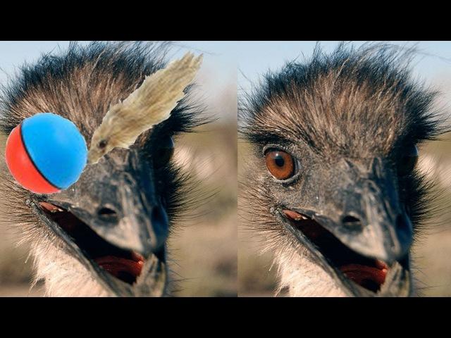 Emu Tango (Emu vs. Weasel Ball)