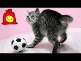 Тайский кошачий футбол. Смешные тайские кошки играют с шаром