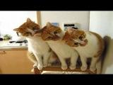 Кошки - лучшие домашние животные! Кошки и смешные приколы про кошек 2015.