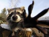 Смешные еноты  Видео про енотов