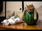 Смешное видео про кошек 2 - Супер приколы 2013 (выпуск 13)