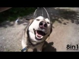 Полный ржач, массаж головы собаке Хаски, лучшие приколы с животными, 2015 январь, угар