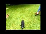 funny animals.приколы с животными,, коза прыгун)) коры 2015