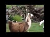 Приколы С Животными Подборка Смех До Слез!)