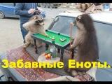 Приколы с животными l Подборка забавных енотов